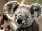 koala56